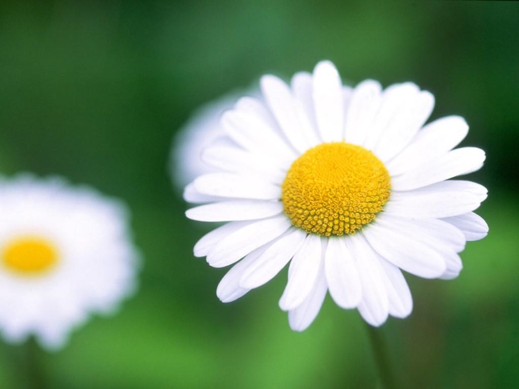 daisy romantic flowers