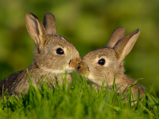 rabbits in love valentines day ideas
