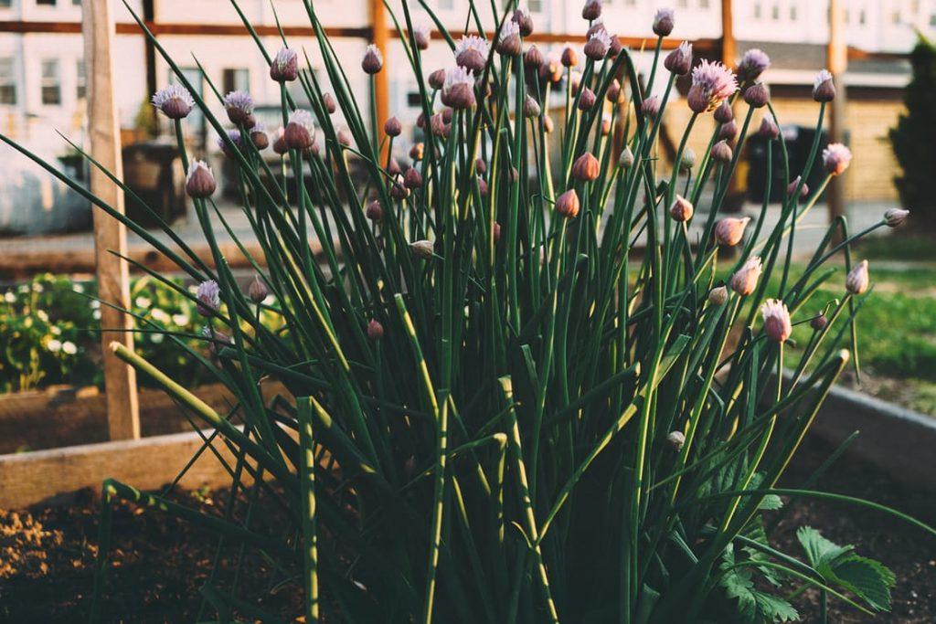 romantic-chives-edible-flowers-dating-ideas-flower-petals