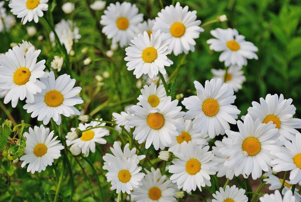romantic-daisies-wildflowers-flowers-in-a-field-anniversary-surprise-ideas