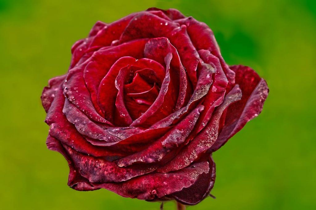 romantic-red-rose-dating-ideas-valentines-day-proposal-kisses