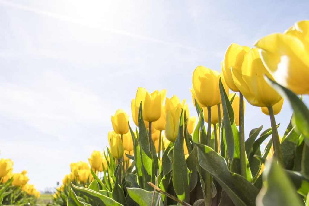 romantic-tulips-in-field-yellow-dating-ideas-proposal-variety