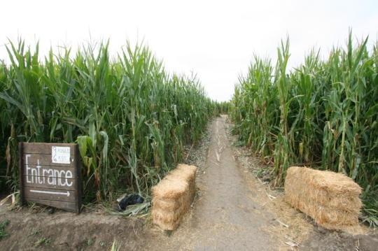 romantic corn maze
